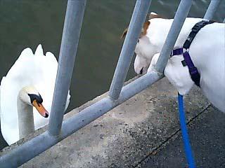 「はじめまして 私は白鳥です。」「ほへ~☆」