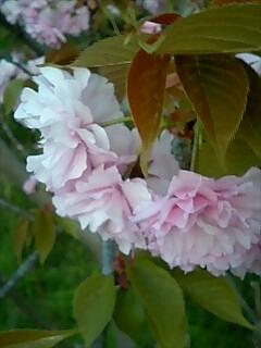 八重桜のあーっぷ