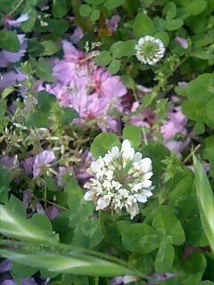 しろつめくさと八重桜の花