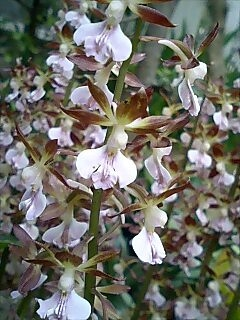 庭のエビネ蘭
