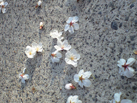 アスファルトの桜