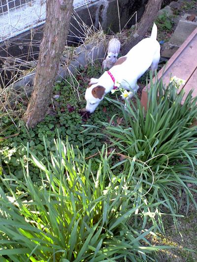 水仙の香りを楽しむパウリー