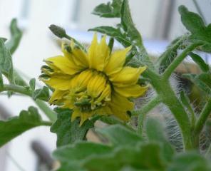 Sonnenblume-Tomate.jpg