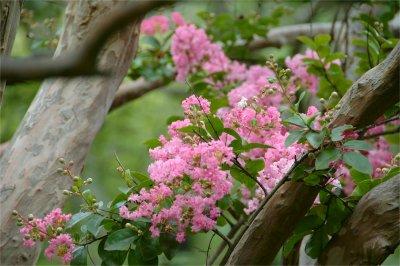 ピンク色の百日紅