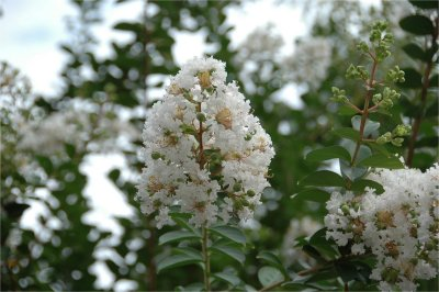 白い色の花の百日紅も・・・