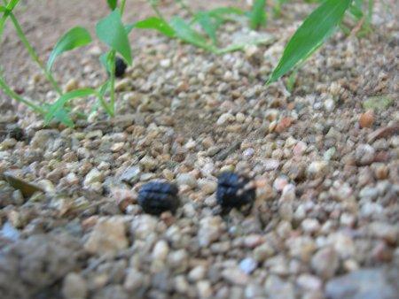 何かの動物のウンチのような黒い粒々・・・