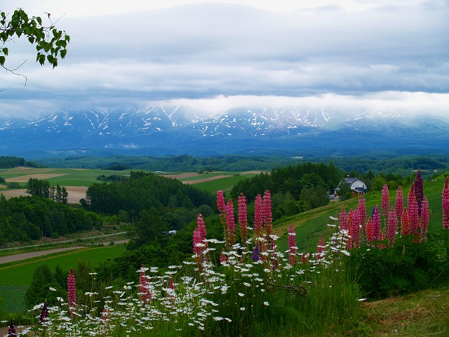ルピナスの咲く丘