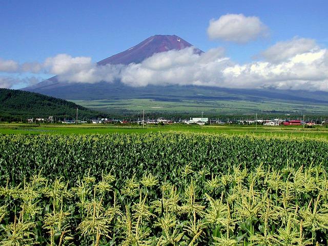 とうもろこし畑と富士
