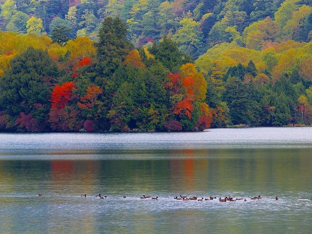 湯の湖の鴨