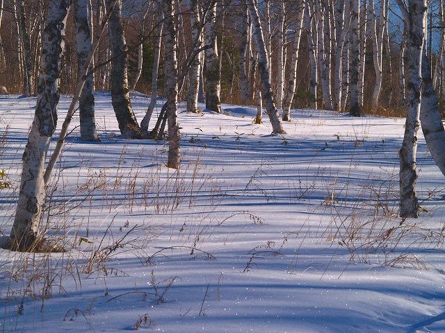 光る白樺林