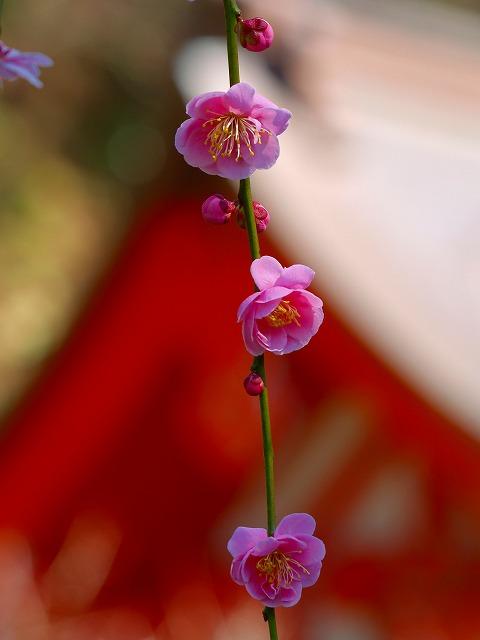 荏柄の紅梅