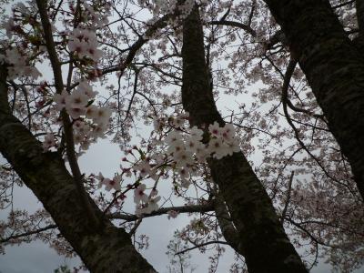 桜も咲いてるよ(o^-^)