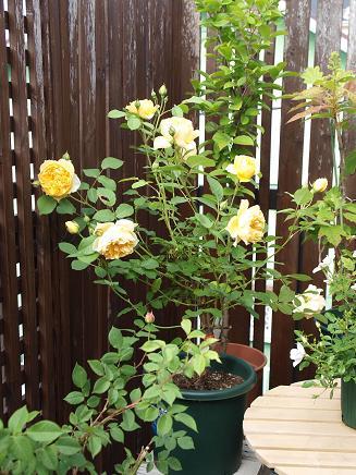 001黄色いバラ