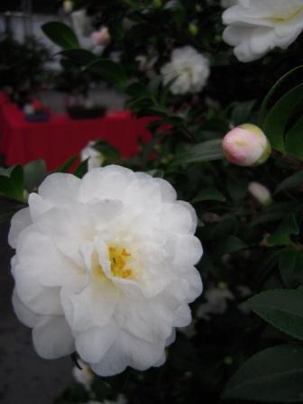 坪林ー茶花展8