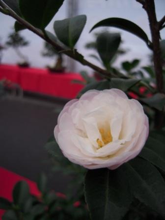 坪林ー茶花展37