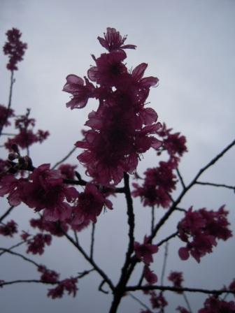 桜が咲いた5