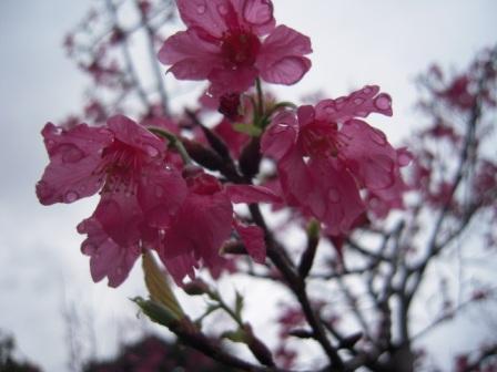 桜が咲いた18