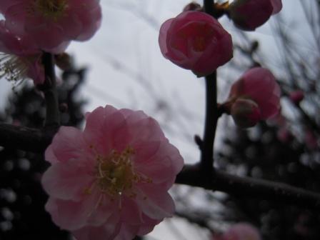 桜が咲いた15