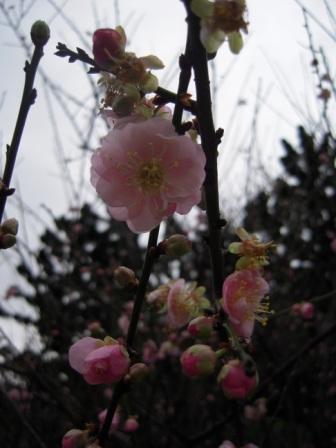桜が咲いた13