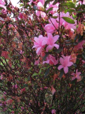 2010 陽明山花季9