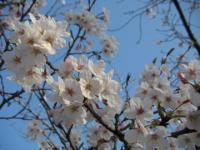 2009桜3