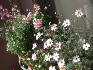 2009春の花3