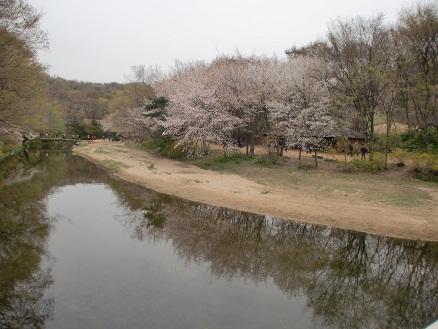 *桜が綺麗ですね*