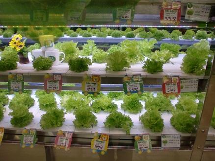*水栽培野菜*