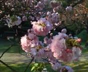 浜離宮の八重桜