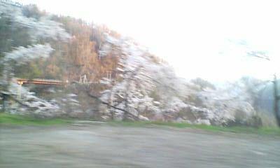 福井の山桜