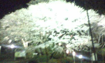 ピンボケ夜桜