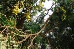 ライチの木。