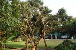 竜眼の木。