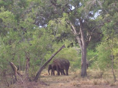 Minneriya elephant1