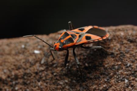 コマダラナガカメムシ