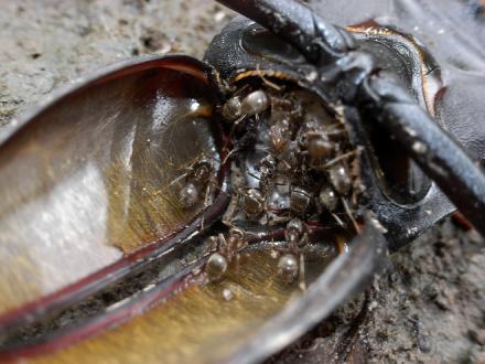 ノコギリクワガタを食べるアリ