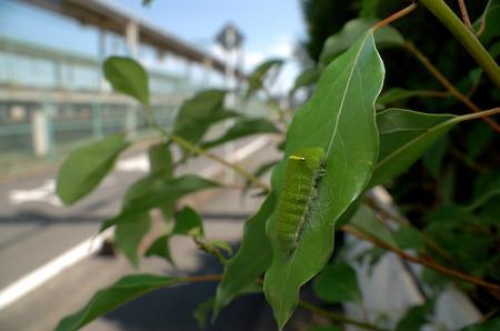 クスノキにアオスジアゲハ幼虫