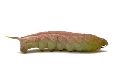 ホシホウジャク幼虫1