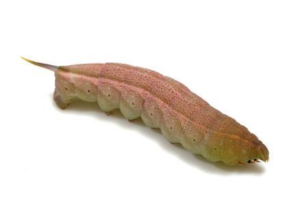 ホシホウジャク幼虫2