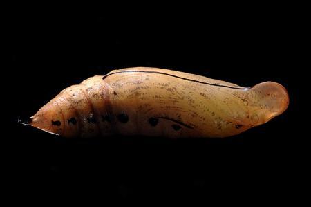 ホシホウジャク蛹