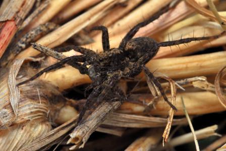 ウヅキコモリグモ横