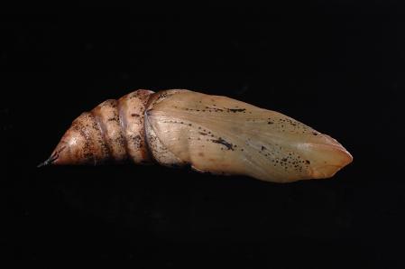 セスジスズメの蛹