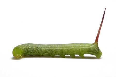 コスズメ幼虫1
