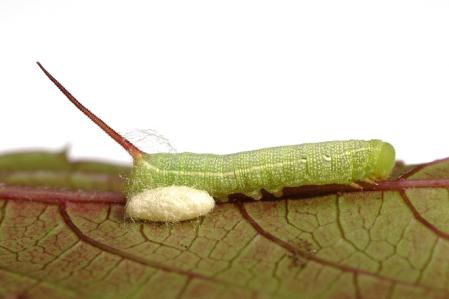 コスズメ幼虫と繭