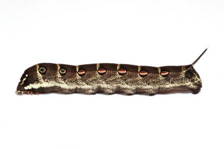 セスジスズメ幼虫横