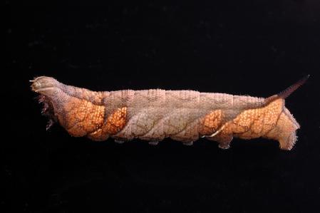 ホシヒメホウジャク幼虫1