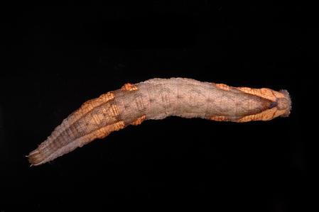 ホシヒメホウジャク幼虫2