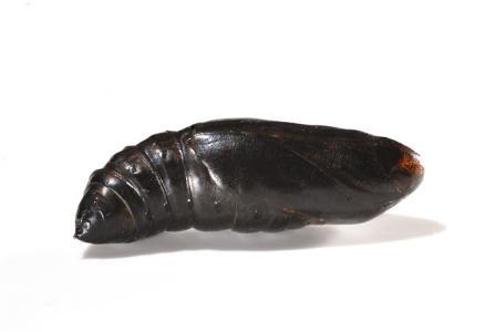 ホシヒメホウジャクの蛹1