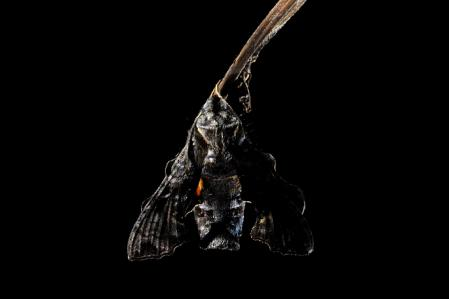 ホシヒメホウジャク成虫背中黒バック