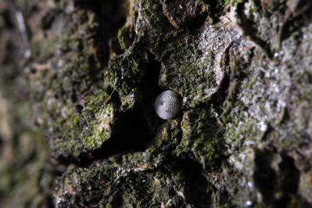 秋ヶ瀬のミドリシジミ卵